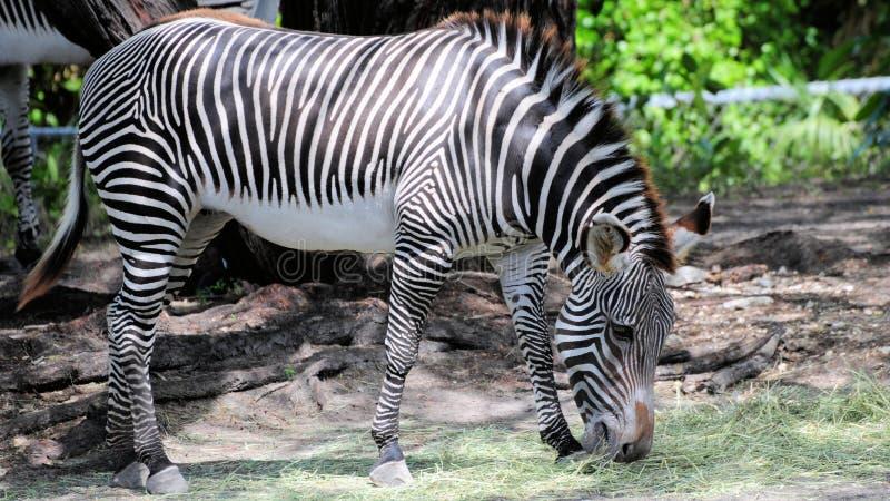 Zebra de Grevy fotografia de stock