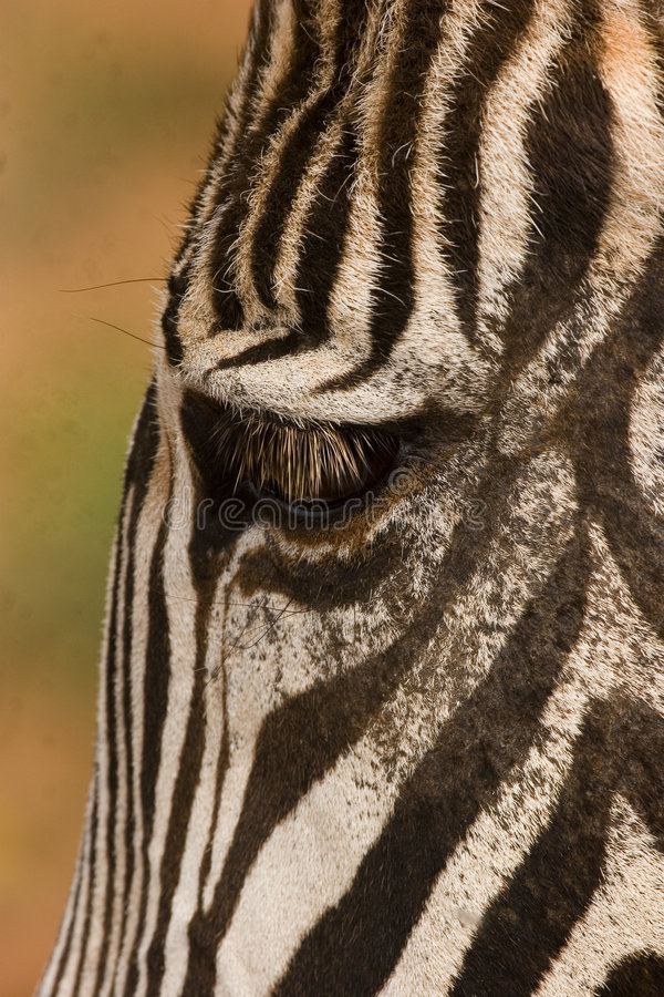 Zebra de Grevy imagens de stock