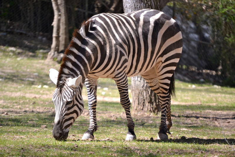 Zebra de montanha de Hartman imagens de stock