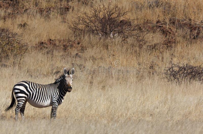 Zebra de montanha de Hartmann imagem de stock
