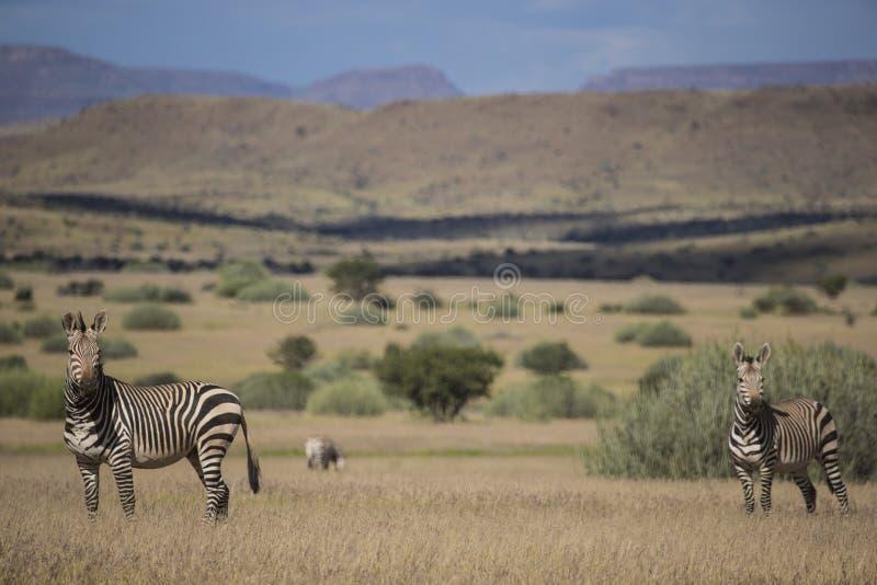 Zebra de montanha de Hartmann (hartmannae da zebra do Equus) imagens de stock
