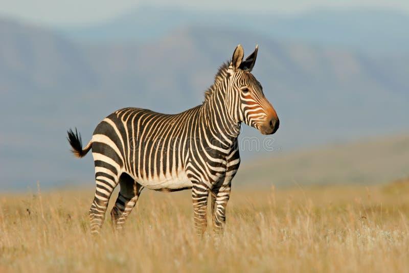 Zebra de montanha do cabo foto de stock