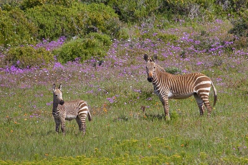 Zebra de montanha do cabo entre flores da mola fotografia de stock
