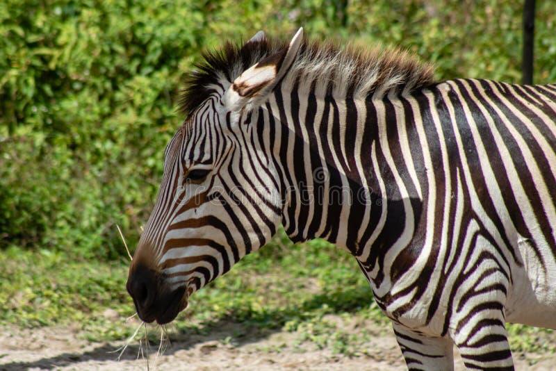 Zebra de montanha do ` s de Hartmann imagens de stock
