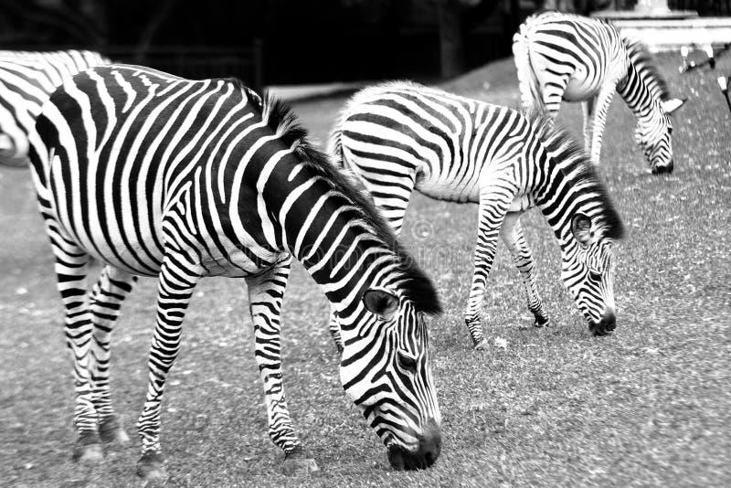 Zebra de montanha em um hotel em Livingstone, Zâmbia foto de stock royalty free