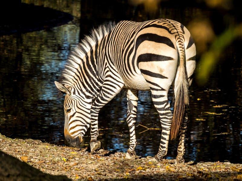 Zebra de montanha de Hartmann, hartmannae da zebra do Equus Uma zebra posta em perigo fotografia de stock
