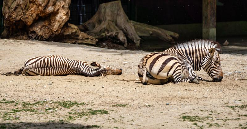 Zebra de montanha de Hartmann, hartmannae da zebra do Equus Uma zebra posta em perigo imagens de stock royalty free