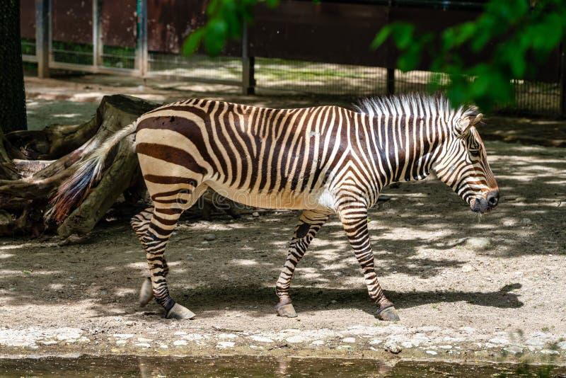Zebra de montanha de Hartmann, hartmannae da zebra do Equus Uma zebra posta em perigo fotos de stock royalty free