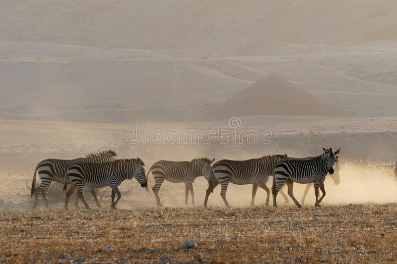 Zebra in de Namib Desert near Solitaire in Namibia. Zebra walking across the dusty plains of de Namib Desert near Solitaire in Namibia stock image