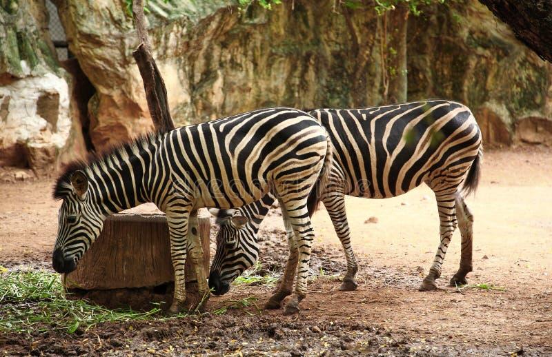 Zebra de Savannah, zoo de Thaïlande photos stock