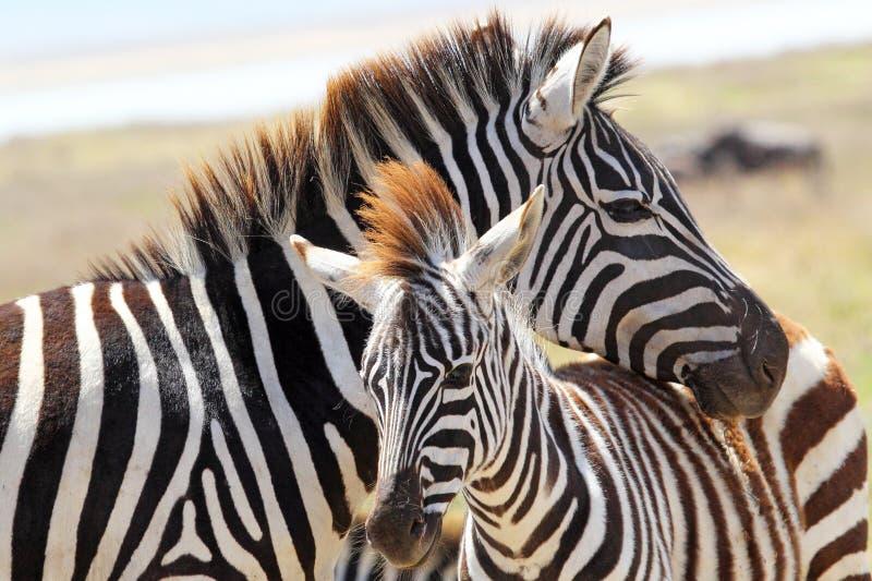 Zebra del bambino con la madre fotografie stock