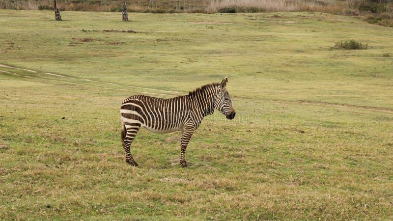 Zebra del capo a Boteilieskop fotografia stock