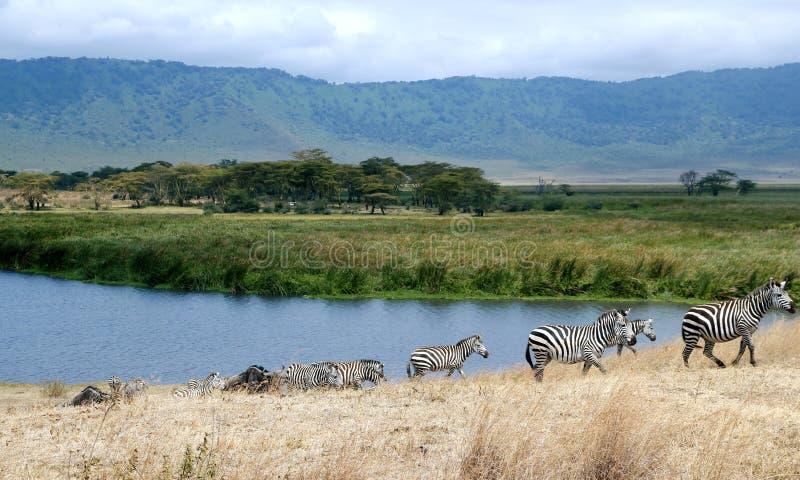 Zebra del cratere di Ngorongoro fotografia stock libera da diritti