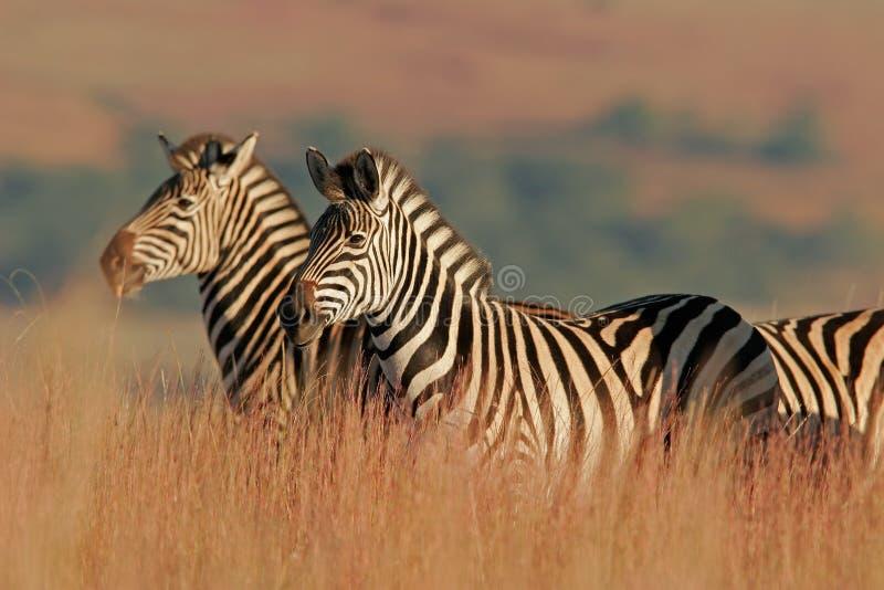 Zebra delle pianure