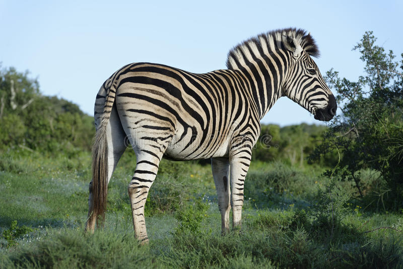 Zebra delle pianure in Addo Elephant National Park fotografie stock