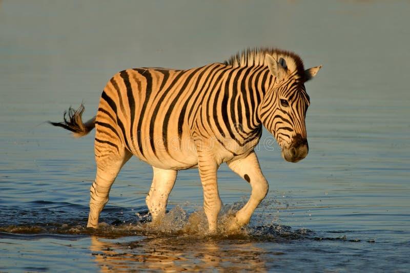 Zebra delle pianure che cammina in acqua immagini stock libere da diritti
