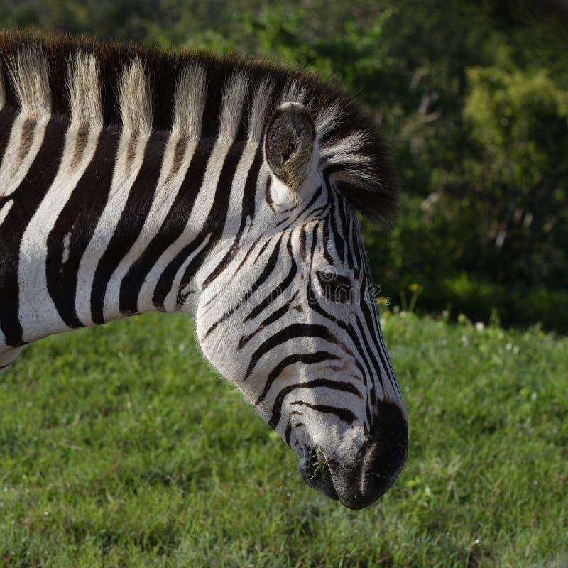 Zebra delle pianure che mangia in Addo Elephant National Park immagini stock