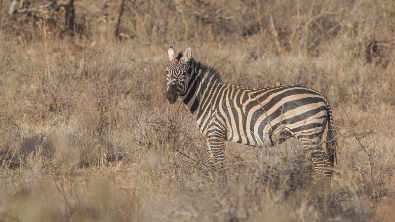 Zebra delle pianure in Prairei immagine stock