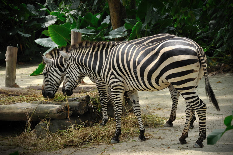 Zebra, der im Singapur-Zoo isst lizenzfreie stockfotos