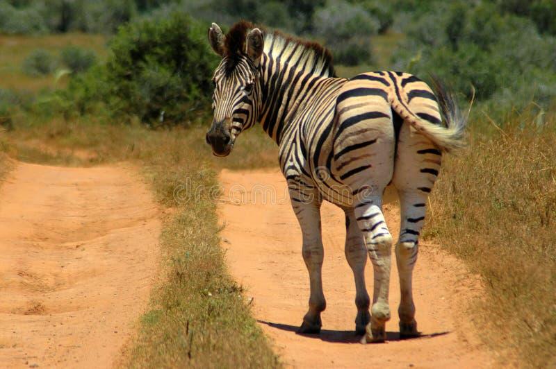 Zebra, der zurück schaut stockfotos