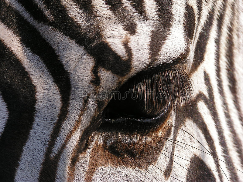Download Zebra - detail stock photo. Image of abstract, detail, close - 165952