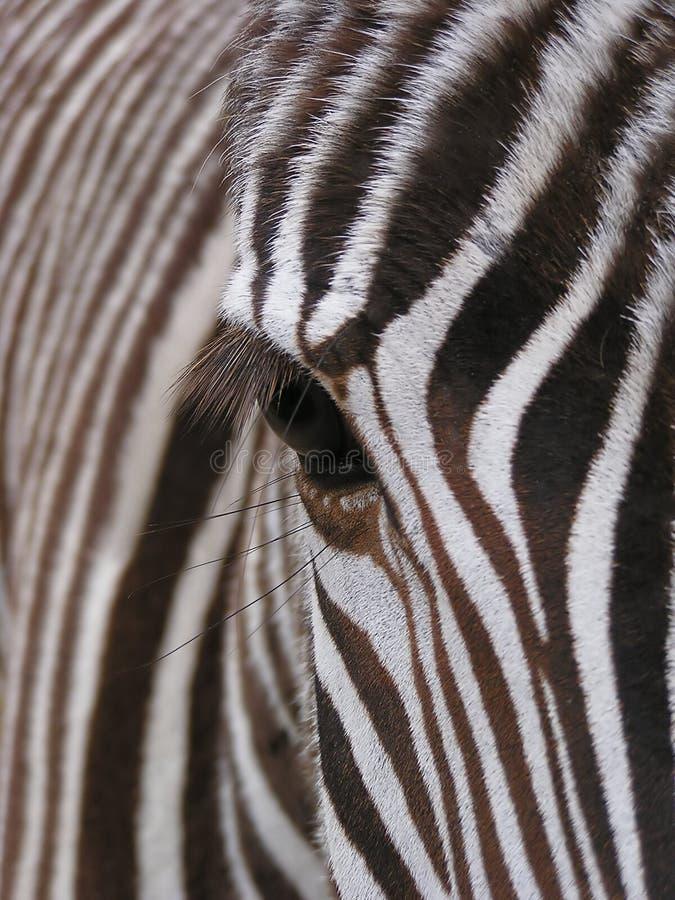 Zebra - detail stock photos