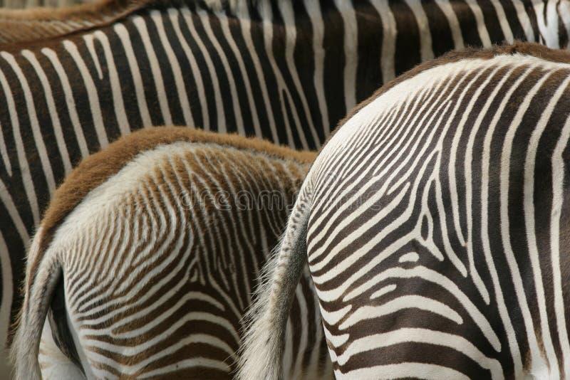Zebra Detail Stock Photo