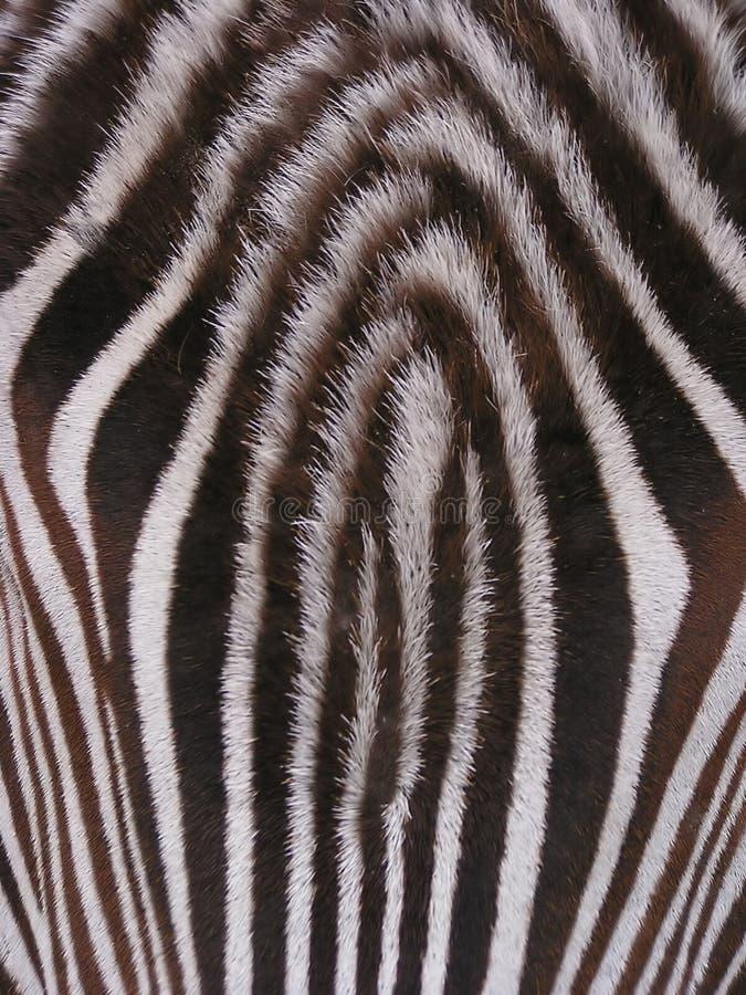 Zebra - detalhe imagens de stock