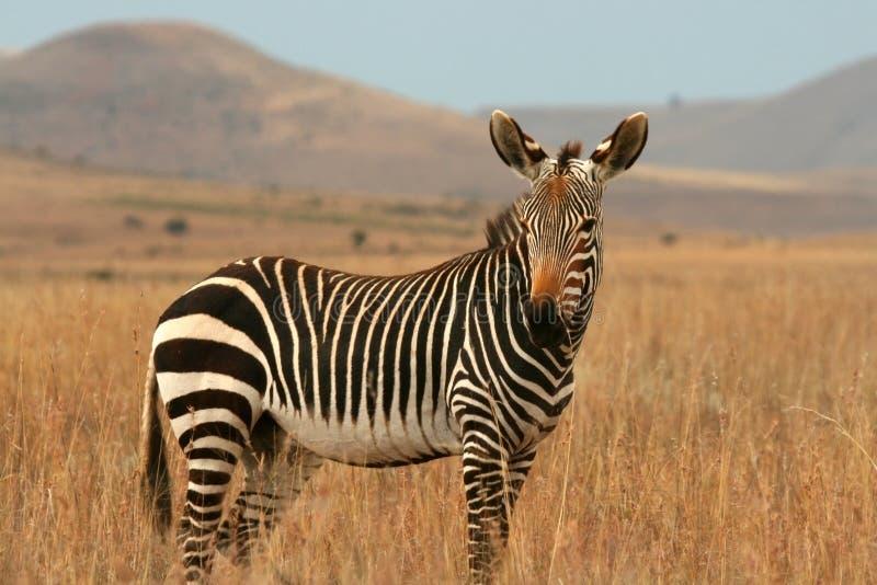 Zebra di montagna immagine stock libera da diritti
