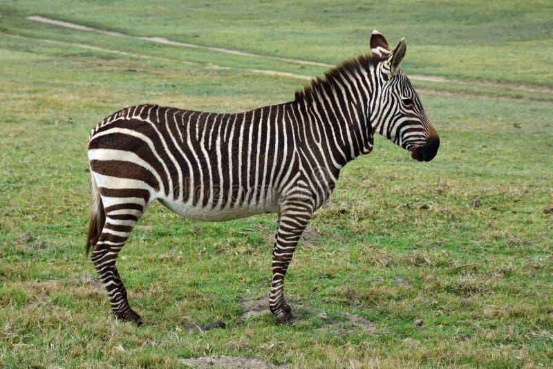 Zebra di montagna del capo, riserva di Botlierskop, Sudafrica fotografie stock