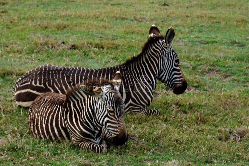Zebra di montagna del capo, riserva di Botlierskop, Sudafrica fotografia stock