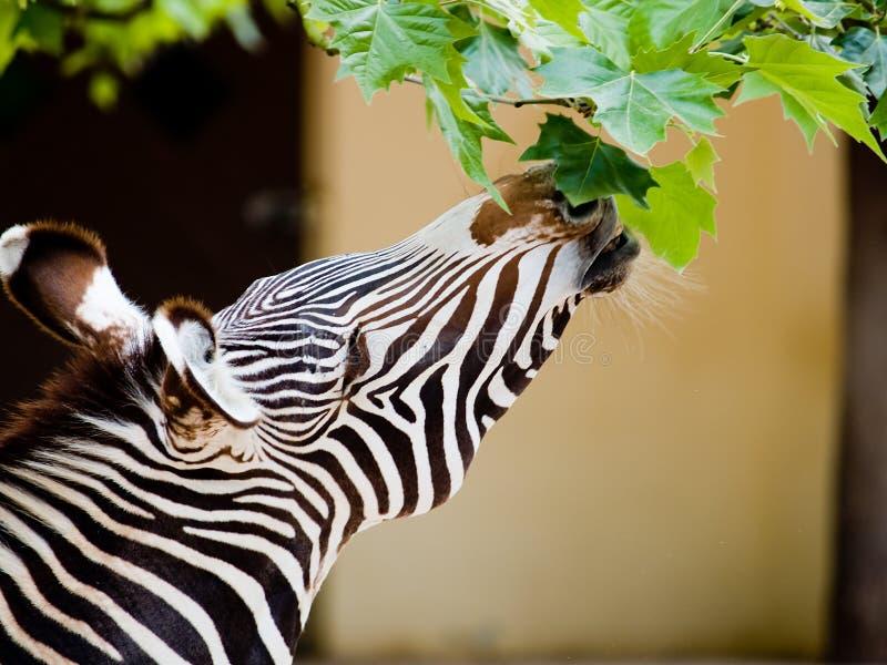Zebra die bladeren eet stock foto's