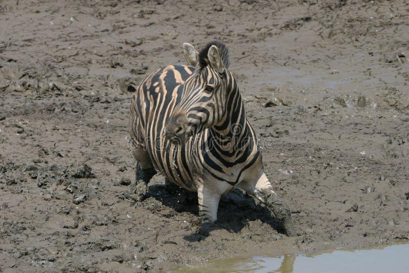 Zebra die in de modder wordt geplakt royalty-vrije stock fotografie