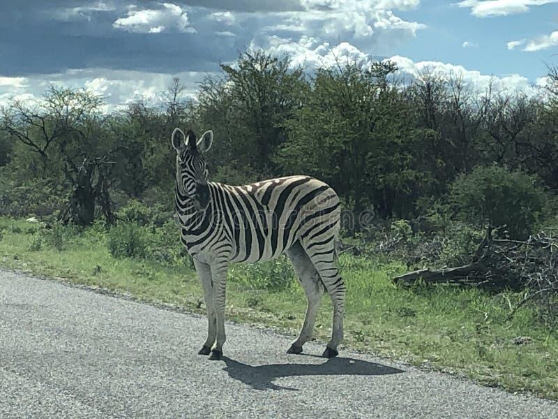 Zebra die de straat oversteekt stock fotografie