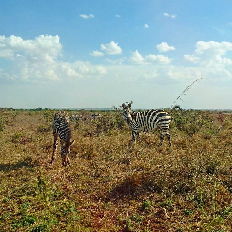 Zebra die in de wildernis wordt bevlekt royalty-vrije stock foto