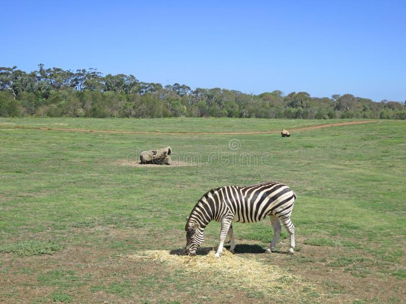 Zebra die gras in Open Waaierdierentuin eten royalty-vrije stock fotografie