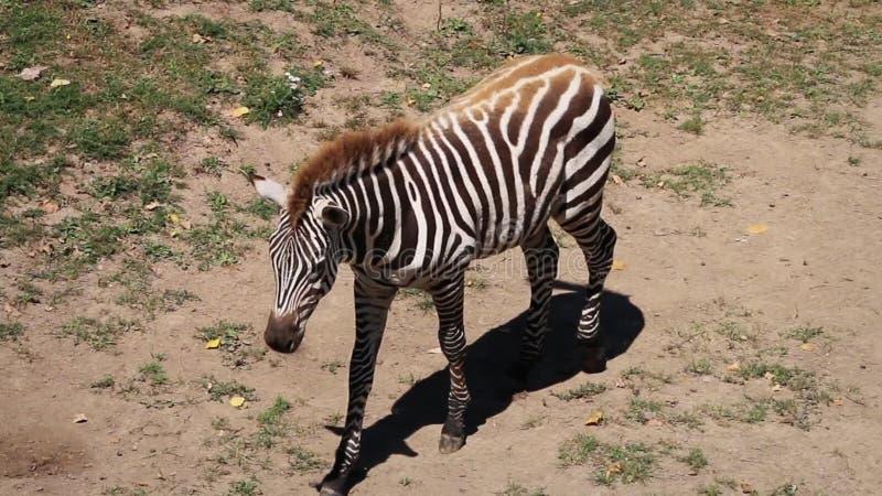 Slapen Op Grond : Zebra die vlakteszebra op grond gestabiliseerd slapen liggen