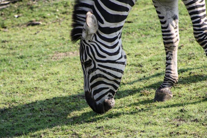 Zebra die wat gras op een weide eten stock afbeeldingen