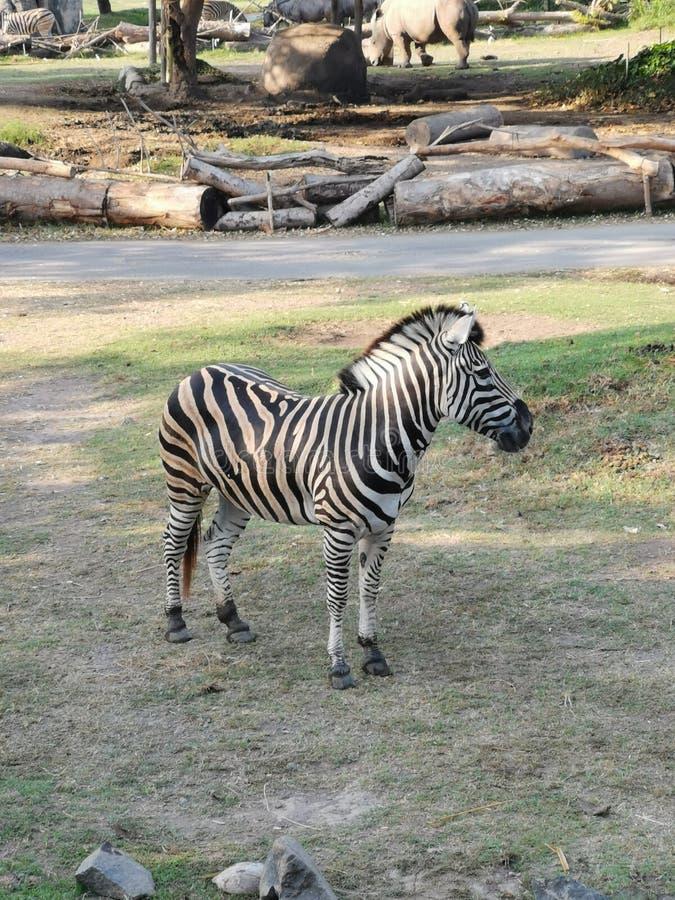 Zebra die zich nog in het park bevinden stock foto's