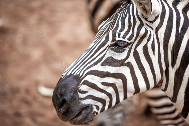 Zebra in dierentuin stock foto