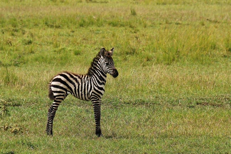 Zebra do bebê imagens de stock