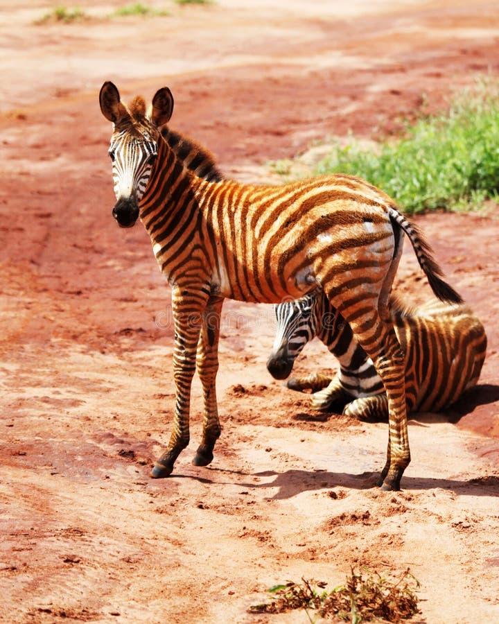 Zebra do bebê fotografia de stock