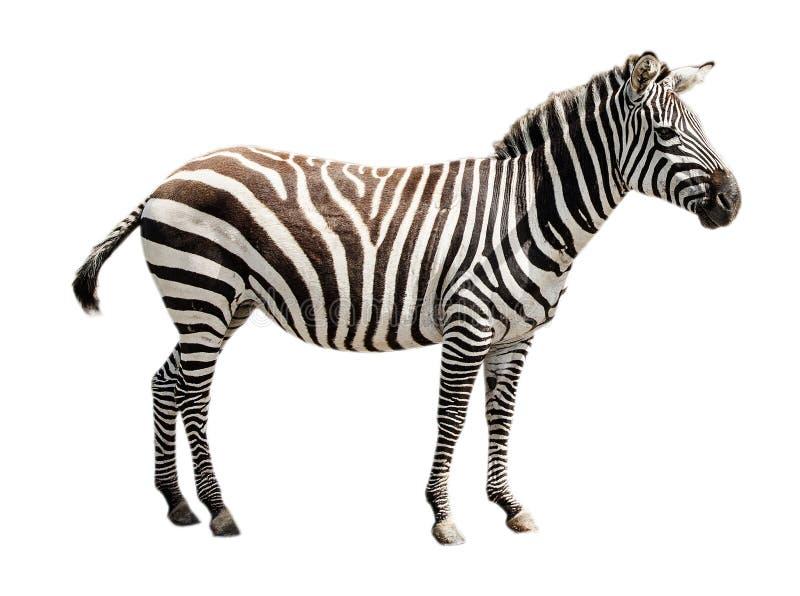 Zebra do burchell do jardim zoológico única isolada no fundo branco fotografia de stock royalty free