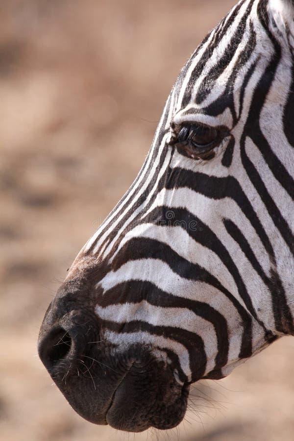 Zebra do close up fotos de stock royalty free