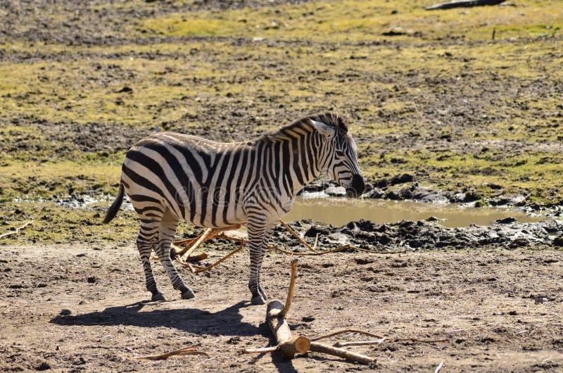 Zebra do Equus imagens de stock royalty free