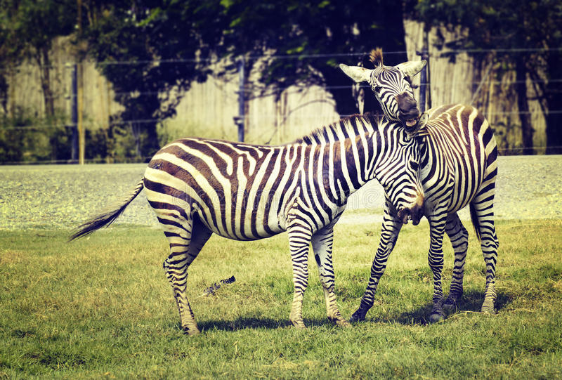 jogo de duas zebras foto de stock royalty free