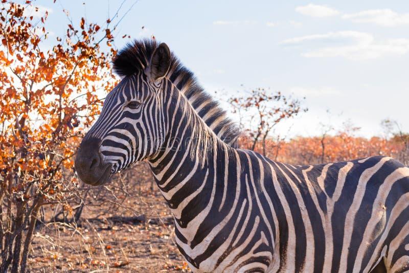 Zebra do parque nacional de Kruger, quagga do equus imagens de stock