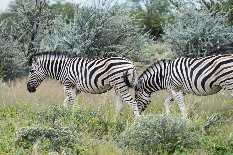 Zebra do ` s da planície do ` s de Burchell imagem de stock