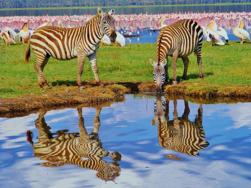 A zebra dois refletiu em uma lagoa perto do flamingo cor-de-rosa no lago em África fotografia de stock royalty free