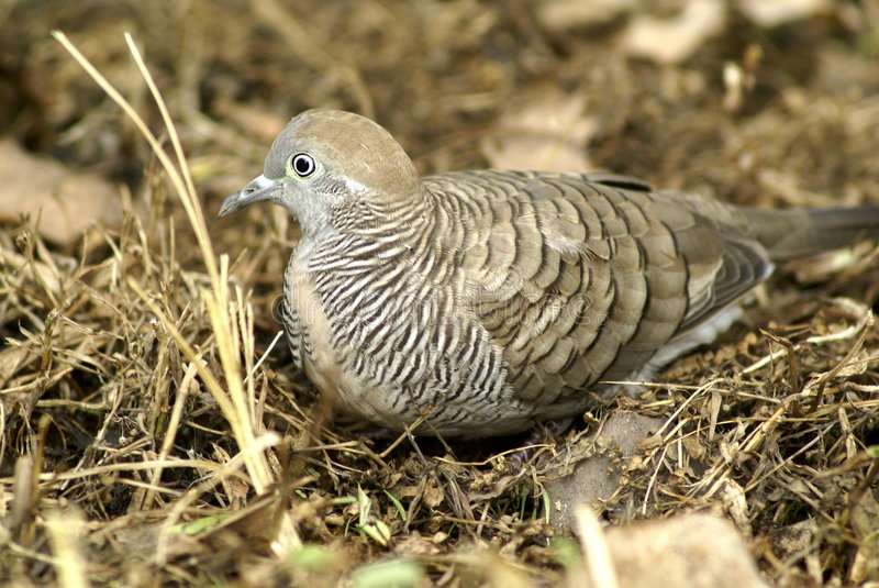 Zebra dove on ground. Zebra dove sitting on dry ground. Location in Singapore. Scientific name is Geopelia striata, also known as Barred Ground Dove royalty free stock photography